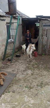 Продам 2 дойных козы и 2х козлят