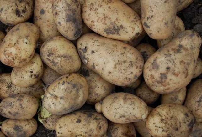Домашняя картошка ЭКО оптом