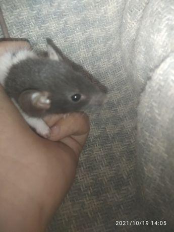 Продам декаративных крыс