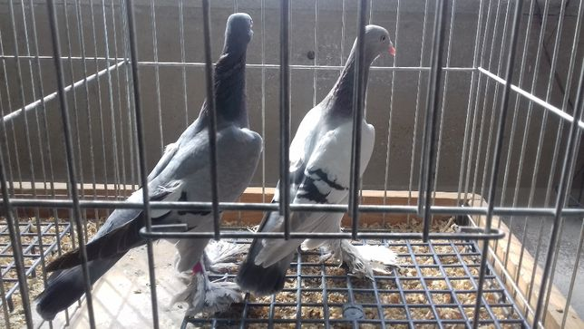 gołębie ozdobne bociany siwe łapciate masłowe