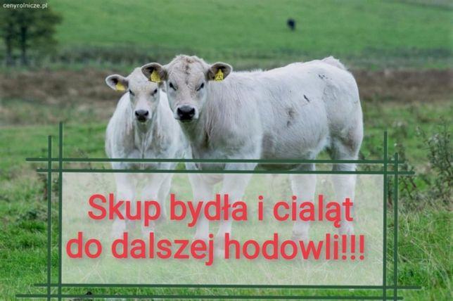 Skup Cieląt i bydła do dalszej hodowli Całe Warmińsko-Mazurskie