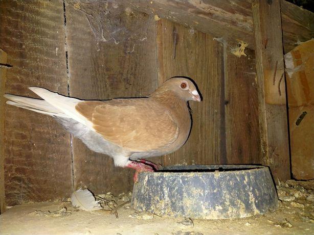 Gołębie Samiczka Pocztowa Żółta Staropolska Wysyłka