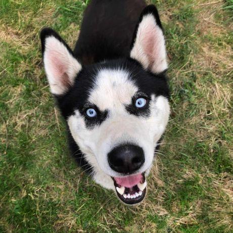 Młodziutki, aktywny pies husky szuka domu, adopcja