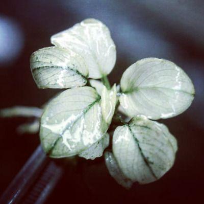 Anubias White Pinto/Marble - biały Anubias, pęczek