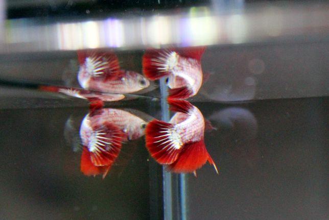 Bojownik samiec HMPK Red Dragon Betta Splendens HODOWLA duży wybór