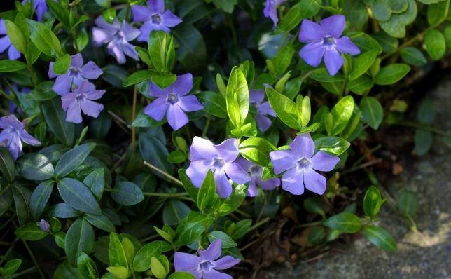 Sadzonka barwinek pospolity klacze pnacze roślina okrywowa zimozielona