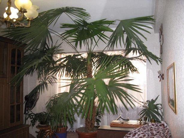 пальма веерная требует новое жилье, возраст 35 лет в шикарном состояни
