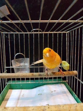 Kanarek Samica Nr 22 Wysyłam ptaki kurierem