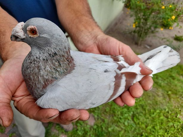 Gołębie staropolskie samiec Okaz