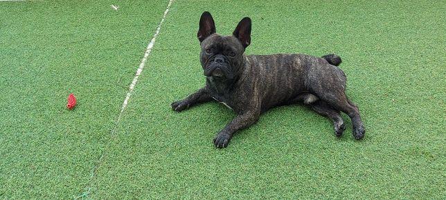Bulldog Francês Tigrado LOP para montas