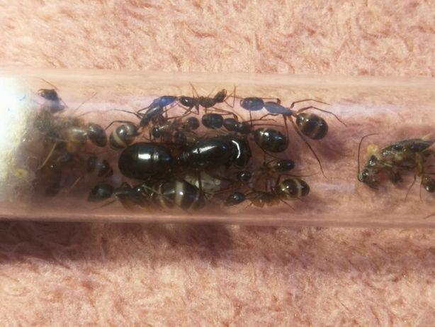 Camponotus Fellah Q+1-10 w ekskluzywne Mrówki do Formikarium