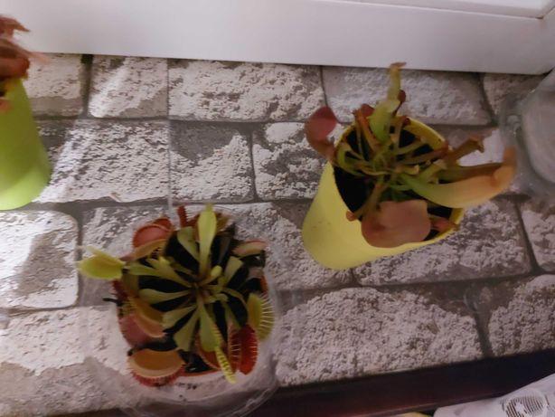 Rośliny owadożerne zestaw