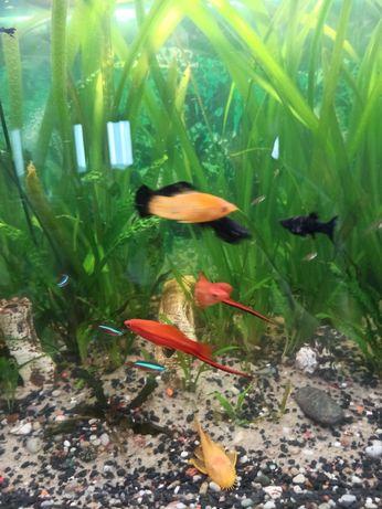 Rybki akwariowe zamienię samce mieczyka