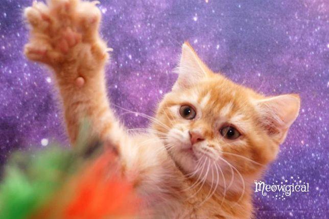 Элитный рыжий котенок скоттиш страйт, не брит, с паспортом