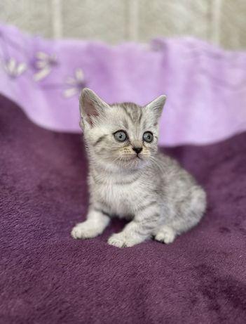 Шотландские вислоухие породистый котёнок  Скоттиш-страйт.