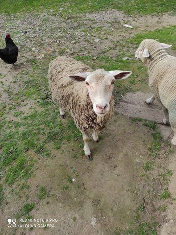 Sprzedam owce z barankiem