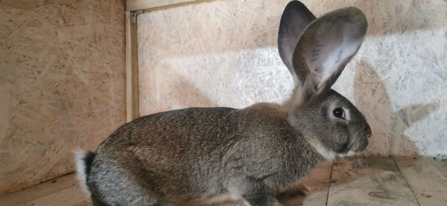 Królik króliki Belgijski olbrzym szary