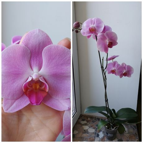 Орхідея висока домашня - 250 грн