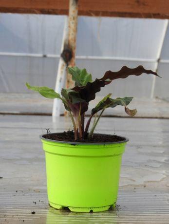 Kalatea calathea Rufibarba sadzonki