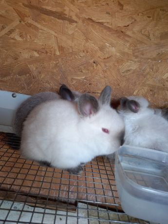 Кролики Калифорния