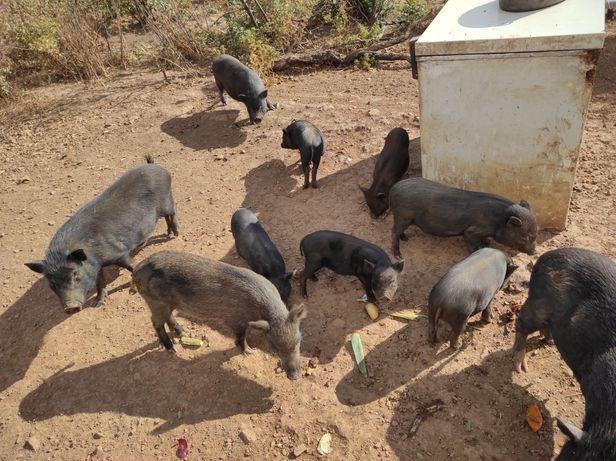 Porcos vietnamita X javali x kune kune