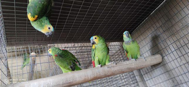 casais de papagaios amazonas aestiva xanthopteryx 2019 anilha fechada
