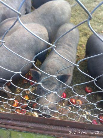 Вьетнамские свинки