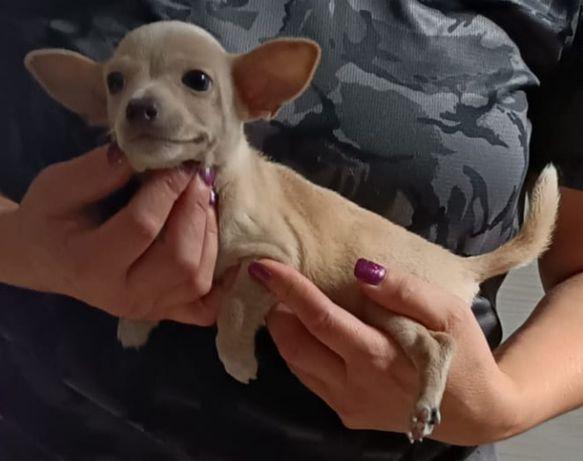 Chihuahua top top