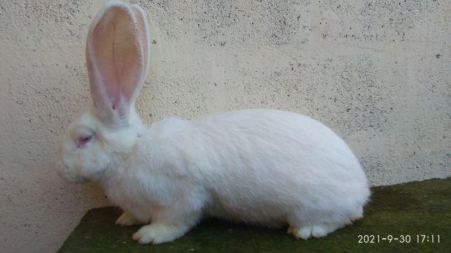 Продам кроликов породы немецкий ризен (великан).