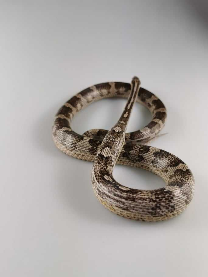 Phanteropis guttatus Wąż zbożowy samiec Anery het amel Z2