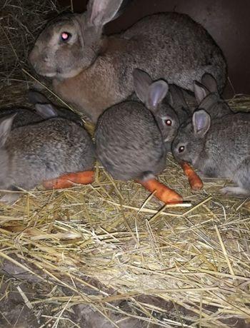 Młode króliki belga