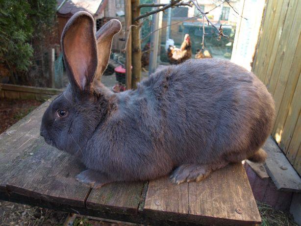 czysto-rasowe króliki srokacz