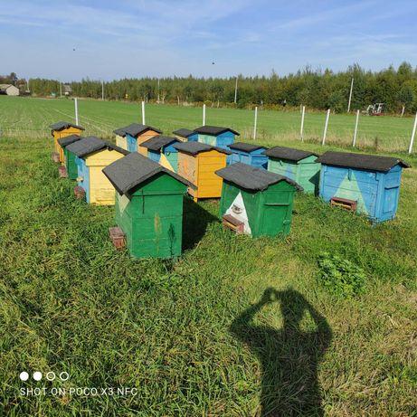 Ule z pszczołami, pasieka, pszczoły 13szt