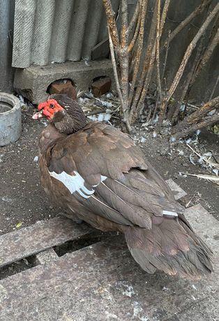 Селезни коричневой индоутки, яйцо, утята белой немецкой мускусной утки