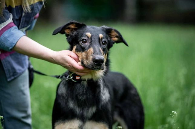 отдам собаку, стерилизованная девочка, приучена к выгулу