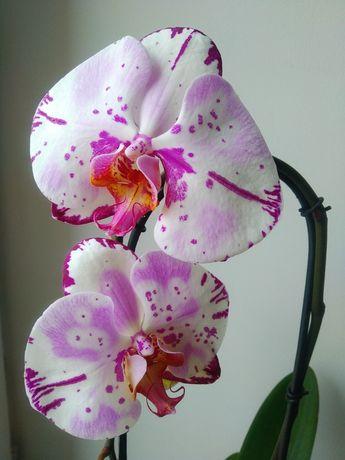 Орхідея Фаленопсис на каскаді - 350