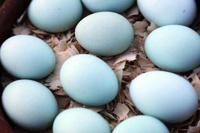 инкубационное яйцо АМЕРАУКАНА