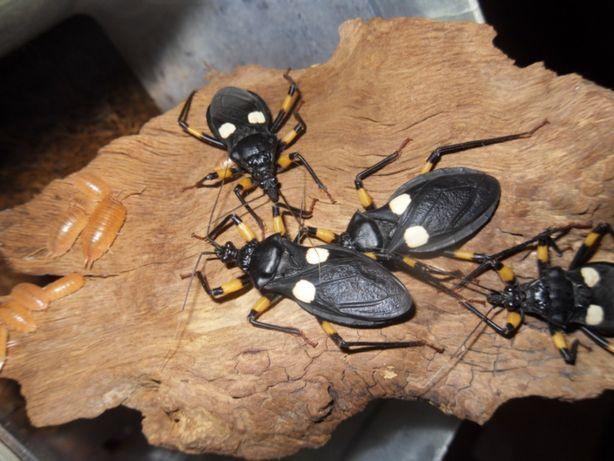 Двупятнистый клоп-хищнец Platymeris biguttatus