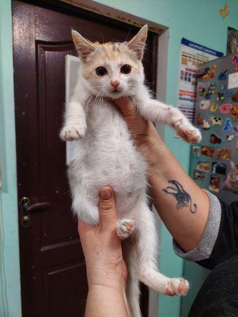 Котенок-девочка трехцветочка 2,5 мес. в добрые руки