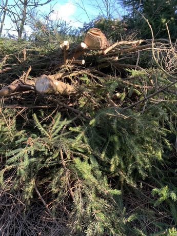 Oddam za darmo stertę, stos gałęzi (suche 2 lata) oraz świeże