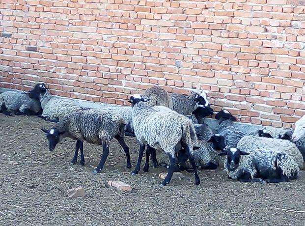 Баранина Вівці Овци, Барани Меріноси та Романівської породи