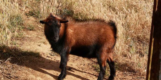Cabra anã (macho)