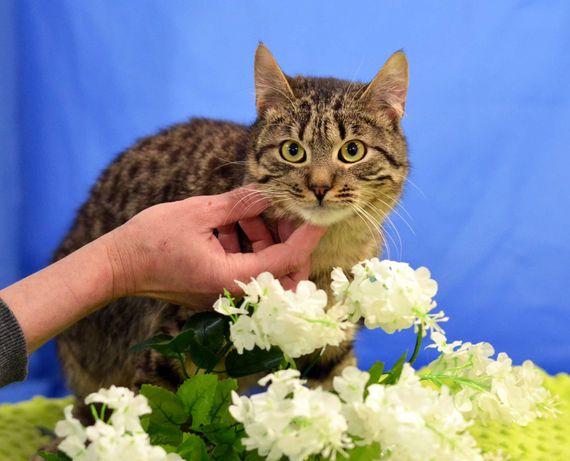 Добрая и нежная кошка Плюша (10 месяцев, стерилизована)