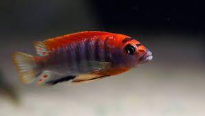 Rybki pyszczaki Labidochromis hongi sweden