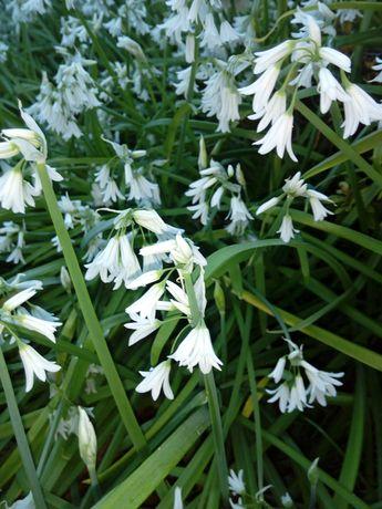 Andorinhas flores brancas