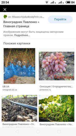 Саженцы винограда, подвой.