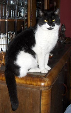 POMÓŻCIE odnaleźć czarno białą kotkę-2000 zł NAGRODA