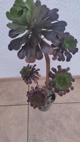 Sprzedam rośliny - nadwyżki kolekcji