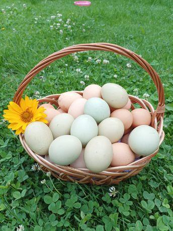 Jaja jajeczka od szczęśliwych kur z wolnego wybiegu