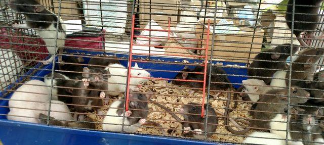 Любые цветные крысята